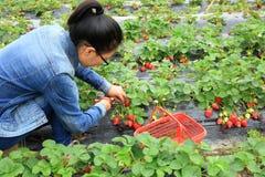 Jovem mulher que escolhe a morango vermelha foto de stock