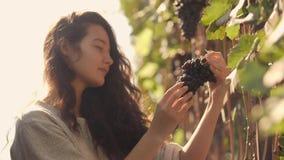 Jovem mulher que escolhe uvas no vinhedo durante a colheita da videira, em um ensolarado bonito, dia do outono video estoque