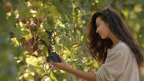 Jovem mulher que escolhe uvas no vinhedo durante a colheita da videira, em um ensolarado bonito, dia do outono vídeos de arquivo