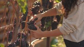 Jovem mulher que escolhe uvas no vinhedo durante a colheita da videira, em um ensolarado bonito, dia do outono filme