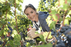 Jovem mulher que pegara uvas na estação da colheita Fotos de Stock Royalty Free