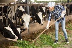 Jovem mulher que toma das vacas no celeiro de vacas imagens de stock