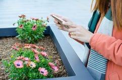 A jovem mulher que toma imagens da margarida cor-de-rosa bonita floresce em um parque público com seu telefone celular imagens de stock royalty free