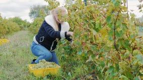Jovem mulher que trabalha no vinhedo Cortes com uvas das tesouras filme