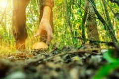 A jovem mulher recolhe cogumelos na manhã ensolarada morna da floresta Fotografia de Stock