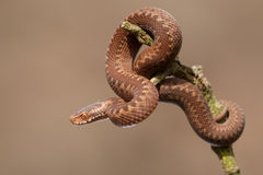 Joven europeo de la serpiente Fotografía de archivo libre de regalías