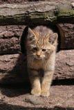 Joven salvaje del gato Imagen de archivo libre de regalías