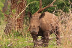 Jovens brancos do rinoceronte na região selvagem Fotos de Stock Royalty Free