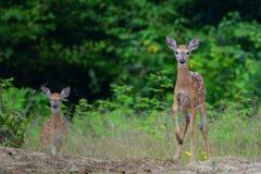 Jovens corças alertas dos cervos da cauda branca Fotografia de Stock