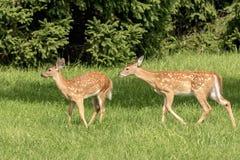 jovens corças Branco-atadas dos cervos em Poughkeepsie, NY foto de stock royalty free