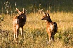 Jovens corças dos cervos de mula Imagem de Stock Royalty Free