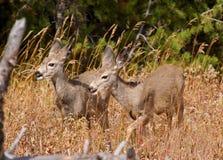 Jovens corças dos cervos de mula Foto de Stock Royalty Free