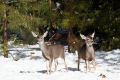 Jovens corças dos cervos de mula que estão na neve Fotos de Stock
