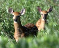 Jovens corças dos cervos de Whitetail Fotografia de Stock