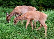 Jovens corças que comem a grama Foto de Stock