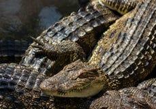 Jovens da água salgada do crocodilo Fotografia de Stock