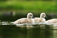 Jovens da cisne na superfície do lago imagens de stock royalty free