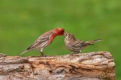 Jovens de alimentação do passarinho da casa Foto de Stock