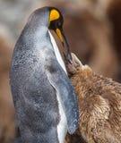 Jovens de alimentação do rei Penguin da mãe imagens de stock