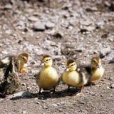 Jovens dos patos de Muscovy uns Imagem de Stock