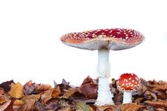 Jovens e cogumelo inteiramente crescido do agaric de mosca fotos de stock