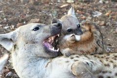 Jovens manchados um do hyaenawit foto de stock royalty free