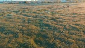 Jovens que dão um ciclo em bicicletas através do campo verde e amarelo do prado do verão video estoque