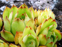 Jovibarba globifera, Sempervivum globiferum Stock Image