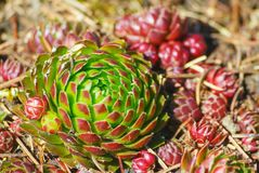 Jovibarba, grows in the botanical garden, illuminated by the sun. Bright, green with red and brown leaves on the tips, near a lot of small red plants, on the Royalty Free Stock Photos