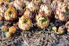 Jovibarba tłustoszowata roślina Obrazy Stock