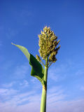 Jowar. The Sorghum crop often called as jowar in India Royalty Free Stock Photos