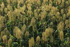 Jowar grain sorghum crop. Farm stock photos