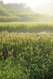 Jowar grain sorghum crop. Farm royalty free stock photography