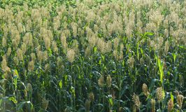 Jowar grain sorghum crop farm. In growth at field royalty free stock photos