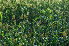 Jowar grain sorghum crop farm. In growth at field stock image
