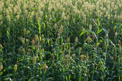 Jowar grain sorghum crop farm. In growth at field stock photography