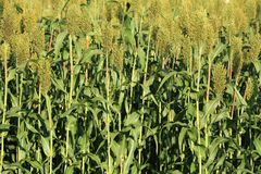 Jowar grain sorghum crop. Farm stock photography