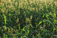 Jowar grain sorghum crop. Farm royalty free stock image