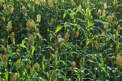 Jowar grain sorghum crop. Farm royalty free stock photos