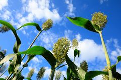 Jowar grain sorghum crop farm. Under blue sky royalty free stock photos