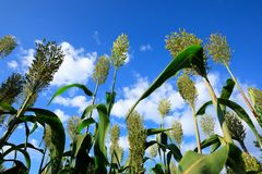 Jowar grain sorghum crop farm. Under blue sky stock images