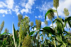 Jowar grain sorghum crop farm. Under blue sky royalty free stock image