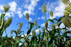 Jowar grain sorghum crop farm. Under blue sky stock photos
