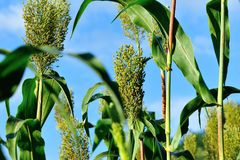 Jowar grain sorghum crop farm. Under blue sky royalty free stock photo