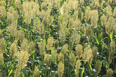 Jowar grain sorghum crop. Farm stock image