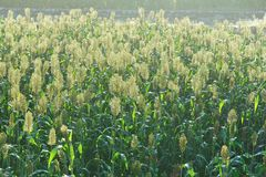 Jowar grain sorghum crop. Farm stock images