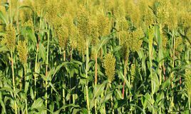 Jowar grain sorghum crops. In growth at farm stock photos