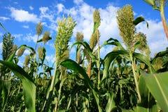 Jowar grain sorghum growing. At farm field royalty free stock photo