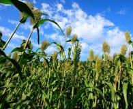 Jowar grain sorghum. Growing at farm field stock image