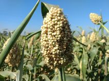 Jowar plant. Jowar crop grows mainly in indian subcontinent as one of the major food Royalty Free Stock Images